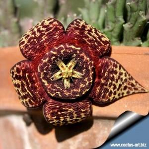 Orbea_variegata_flower_540