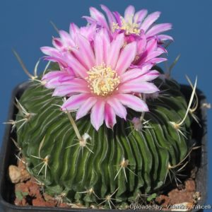 گل دهی Echinofossulocactus multicostatus